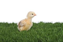Yellow chicken on green grass Stock Photography