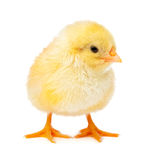 Yellow chicken isolated on a white Royalty Free Stock Photo