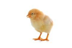 Yellow chicken Stock Photo