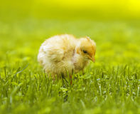 Yellow chicken Stock Images