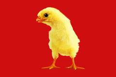 Yellow chicken on a red Stock Image