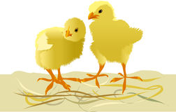Yellow chicken on a sandy floor. Young yellow chicken on a sandy floor, vector illustration Stock Photography