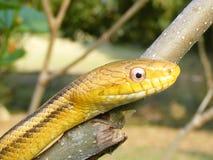 Yellow chicken snake