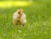 Yellow chicken, young chicken, broiler Royalty Free Stock Image