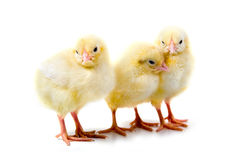 Yellow chickens Royalty Free Stock Photos