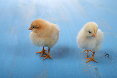 Yellow chickens Stock Images