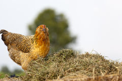 Yellow chickens on Compost Pile. Yellow and tan arcuna chicken hen helping move around fresh compost on a local farm Royalty Free Stock Photos