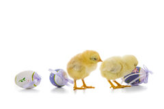 Yellow chickens and easter eggs Royalty Free Stock Photo