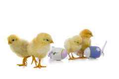 Yellow chickens and easter eggs Stock Photos