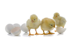 Yellow chickens and easter eggs Royalty Free Stock Images