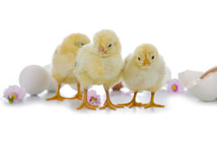 Yellow chickens and easter eggs Royalty Free Stock Image