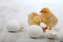 Yellow chickens and eggs Royalty Free Stock Image