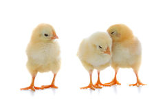 Yellow chickens Royalty Free Stock Photography