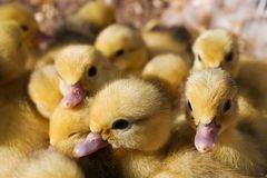 Yellow chicks Royalty Free Stock Photography