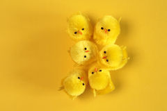 Yellow chicks Stock Images