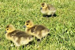 3 yellow chicks of canadian goose walking on the green grass stock images