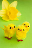 Yellow chicks with daffodil Stock Photo