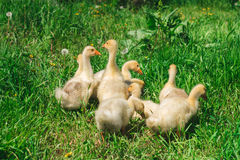 Yellow Chicks grazing in a meadow Stock Photo