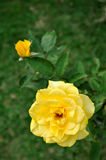 Yellow China rose with bud Stock Photos
