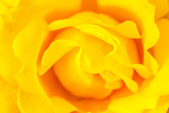 Yellow china rose rosa chinensis jacq Royalty Free Stock Photo