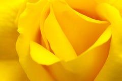 Yellow china rose rosa chinensis jacq Royalty Free Stock Photo