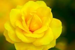 Yellow china rose rosa chinensis jacq Royalty Free Stock Images