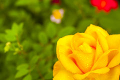 Yellow china rose rosa chinensis jacq dewdrop Stock Photography