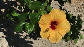 Yellow Chinese hibiscus Hibiscus rosa. Close up Chinese hibiscus Hibiscus rosa stock footage