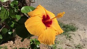 Yellow Chinese hibiscus Hibiscus rosa. Close up Chinese hibiscus Hibiscus rosa stock video footage
