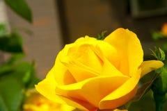 Yellow china rose rosa chinensis jacq  Stock Photo