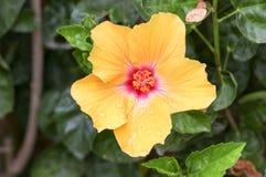 Yellow Chinese Rose Stock Photo
