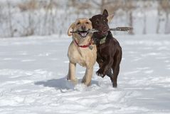 Yellow and Choccolate Labrador Retrievers Royalty Free Stock Images