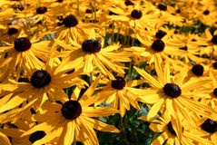 Yellow and chocolate flowers. Royalty Free Stock Photo