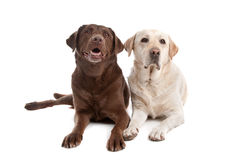 Yellow and chocolate Labrador Royalty Free Stock Photos