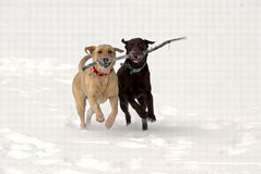 Yellow and Chocolate Labrador Retrievers Stock Photography