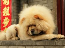 Yellow chow dog on a background of chinese symbols. Closeup stock photography