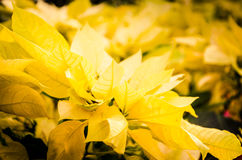 Yellow Christmas Stars. Closed-up of yellow Christmas Star in a garden Stock Image