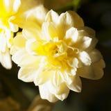 Yellow chrysantemum Royalty Free Stock Photography