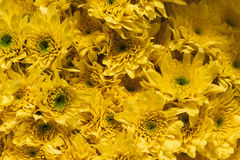 Yellow chrysantemums close up floral background. Soft focus. Yellow chrysantemums close up floral background at flower market in Bangkok Thailand Stock Images