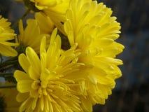 Yellow Chrysantemums royalty free stock image
