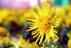 Yellow chrysanthemum. Are blooming in the autumn,with their background is light yellow Stock Photography