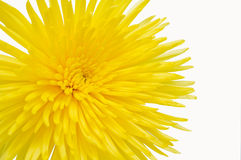 Yellow Chrysanthemum. Chrysanthemum isolated on white background. With clipping path Stock Photography