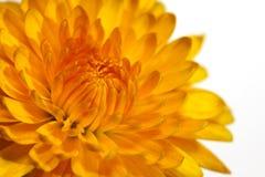 Free Yellow Chrysanthemum Royalty Free Stock Photography - 12069687
