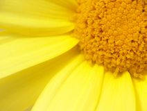 Yellow Chrysanthemum. Macro of Chrysanthemum flower Stock Images