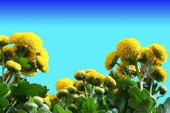 Yellow Chrysanthemum. Blooms among lush green leaves Stock Photography