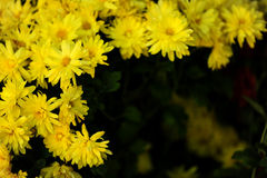 Yellow chrysanthemum Royalty Free Stock Images