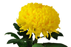 Yellow chrysanthemum. Isolated on white background Royalty Free Stock Photos
