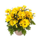 Yellow chrysanthemum Stock Image
