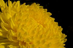 Yellow chrysanthemum. On black background Royalty Free Stock Images