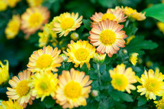 Yellow chrysanthemum Royalty Free Stock Image